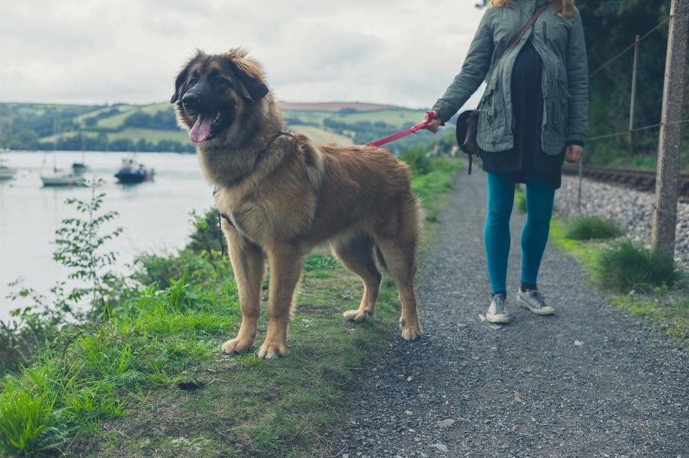 leonberger cão