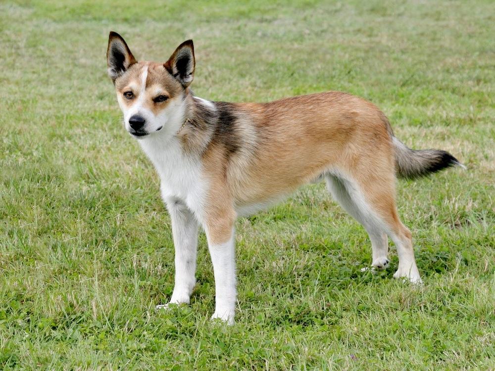 Norsk Lundehund cão