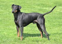 Manchester Terrier cão