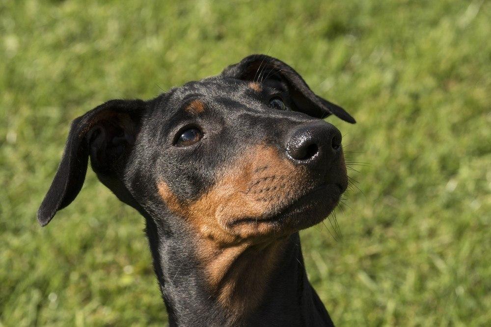 Manchester Terrier cachorro
