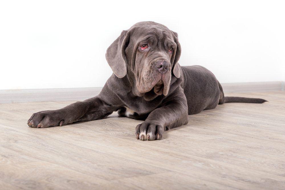 Mastim Napolitano cão