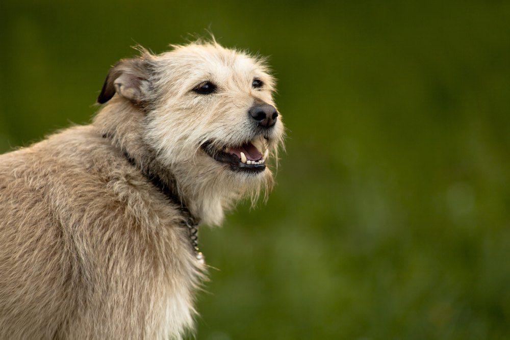 Norfolk terrier cachorro