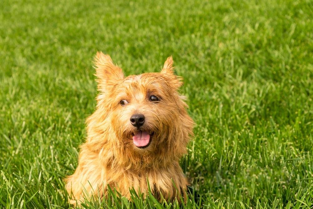 Norwich terrier cão