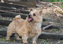 Norwich terrier cachorro