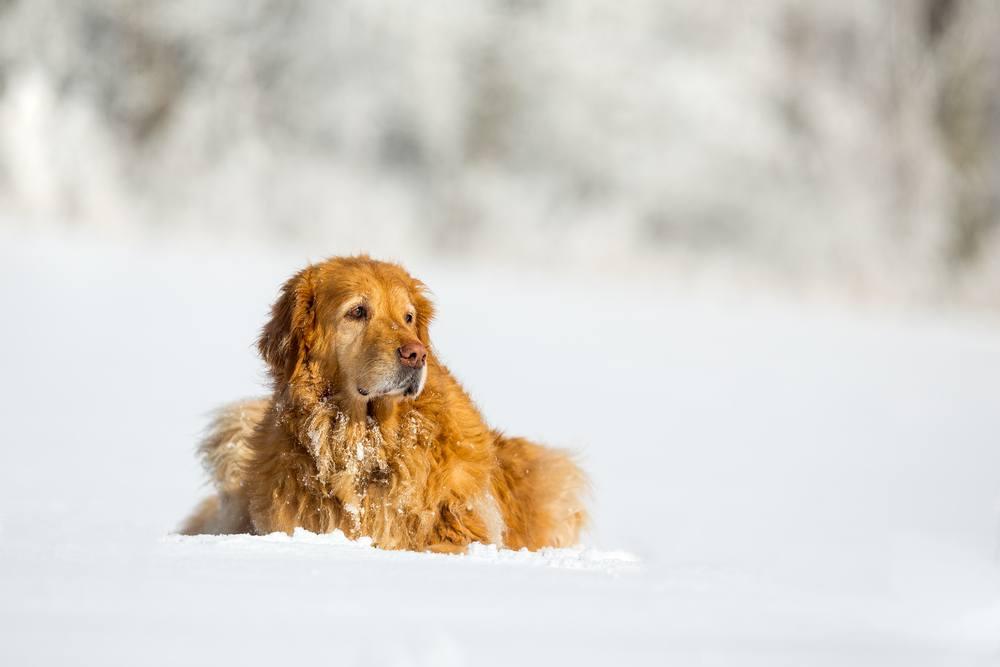 hovawart cachorro