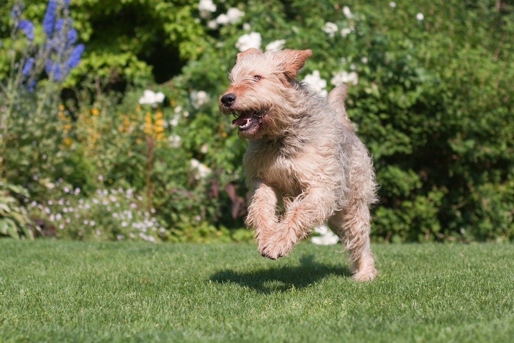 otterhound cachorro