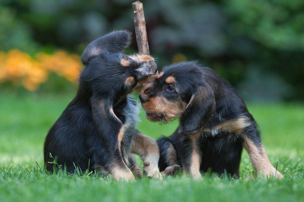 otterhound cão