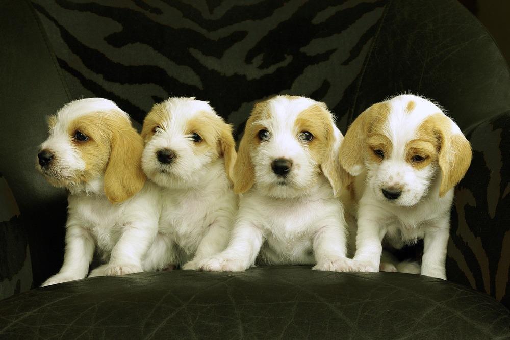 Pequeno Basset Griffon da Vendeia cão
