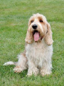 Pequeno Basset Griffon da Vendeia cachorro