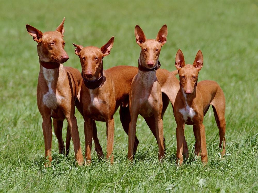 pharaoh hound cachorro