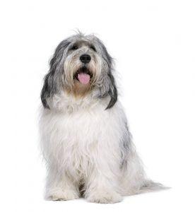 Pastor Polonês da Planície cão