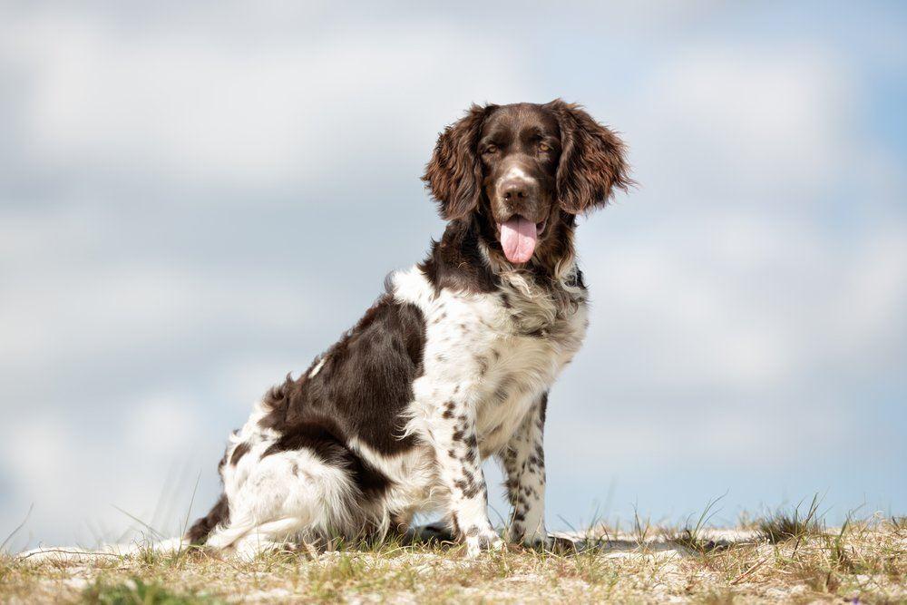 Pequeno Munsterlander cão