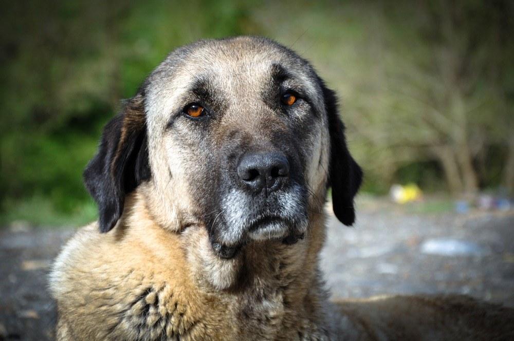 Pastor da Anatólia cão