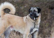 Pastor da Anatólia cachorro