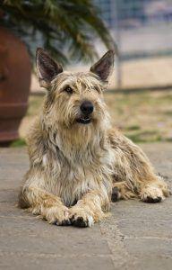 Pastor da Picárdia cão