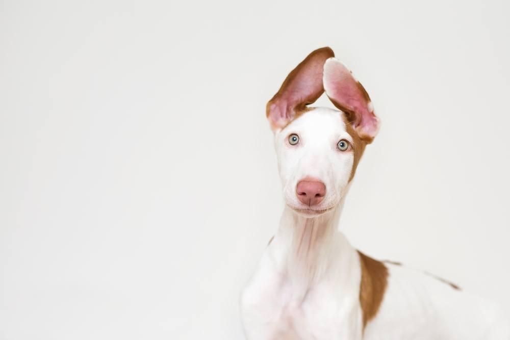 Podengo Ibicenco cão