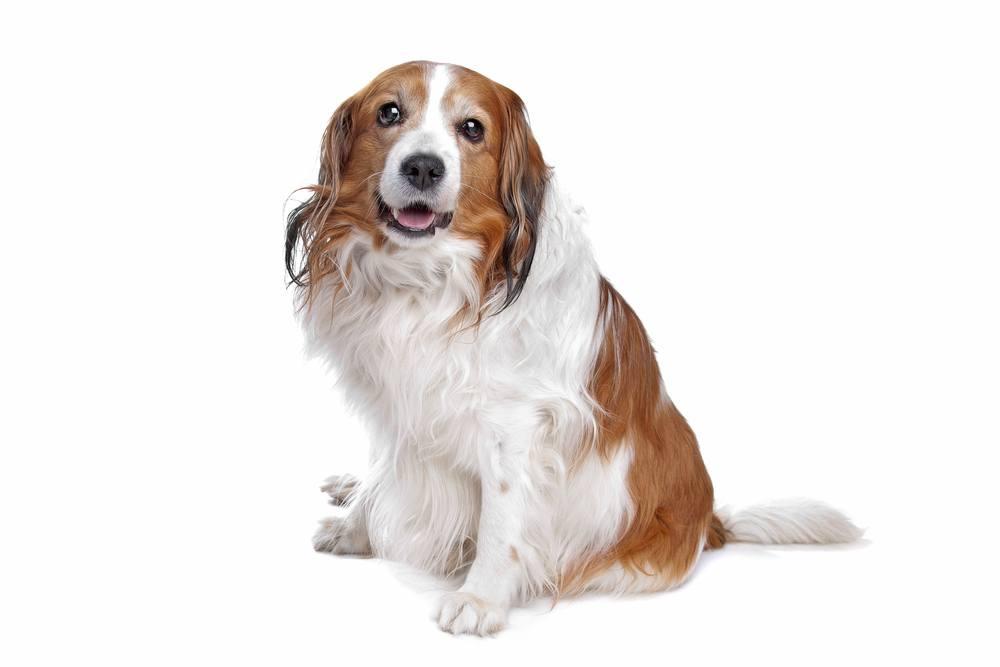 Pequeno Cão Holandês cachorro