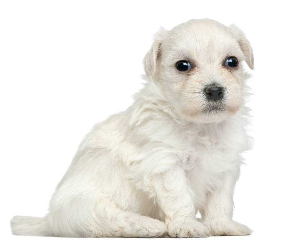 Pequeno Cão Leão cão