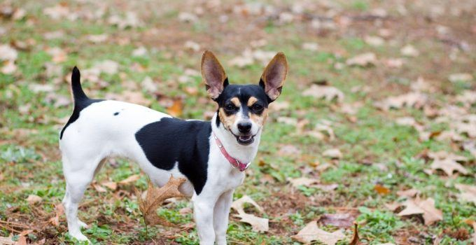 rat terrier cão