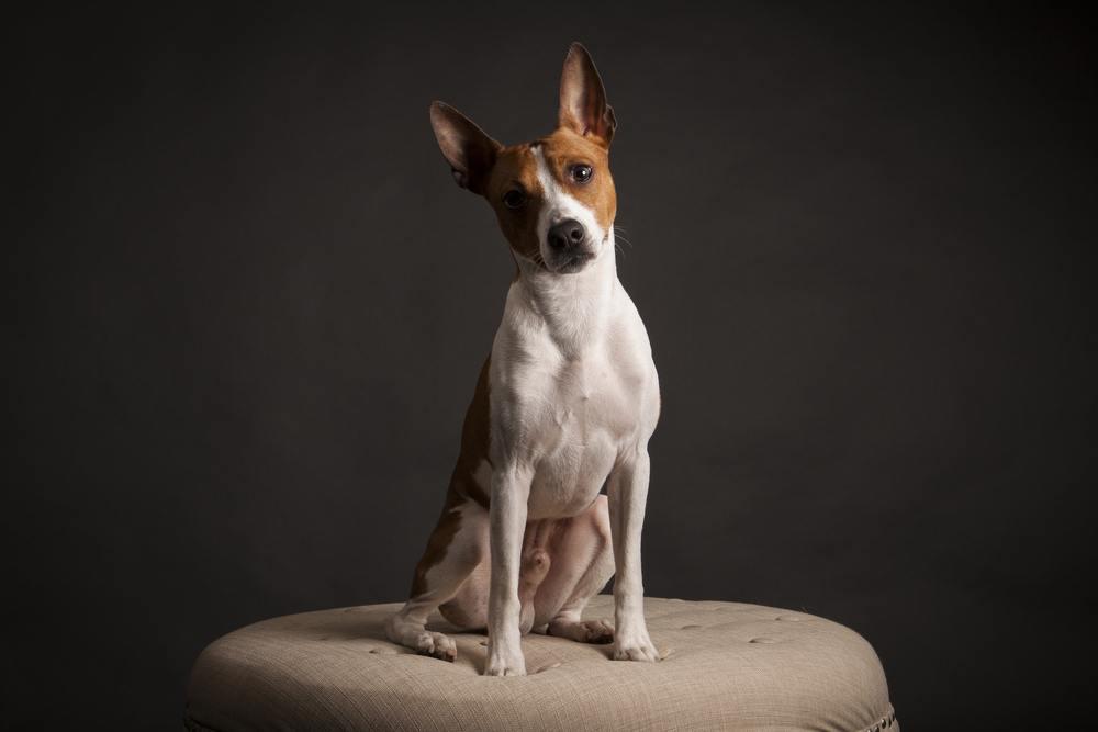 rat terrier cachorro
