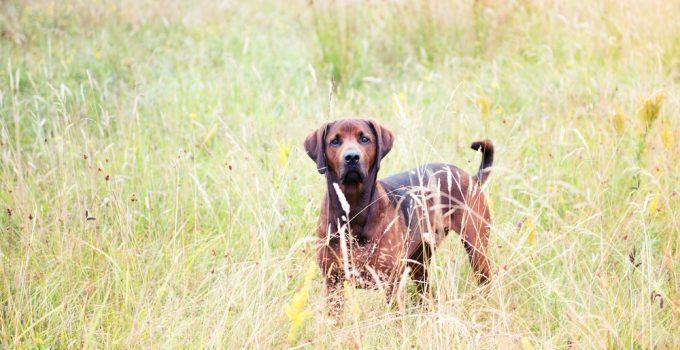 redbone cão