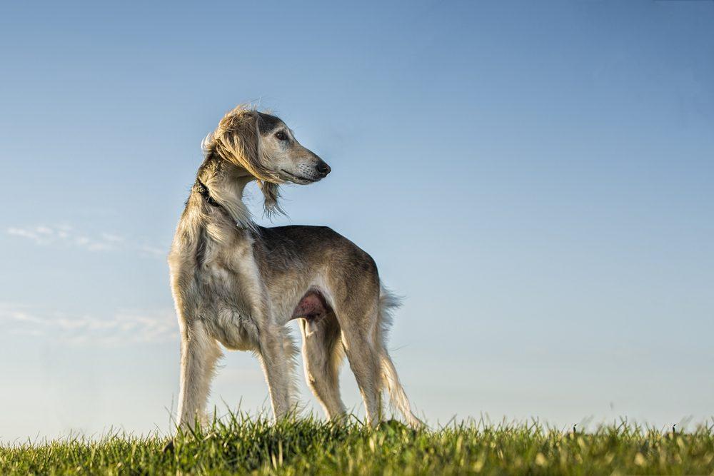 saluki cachorro