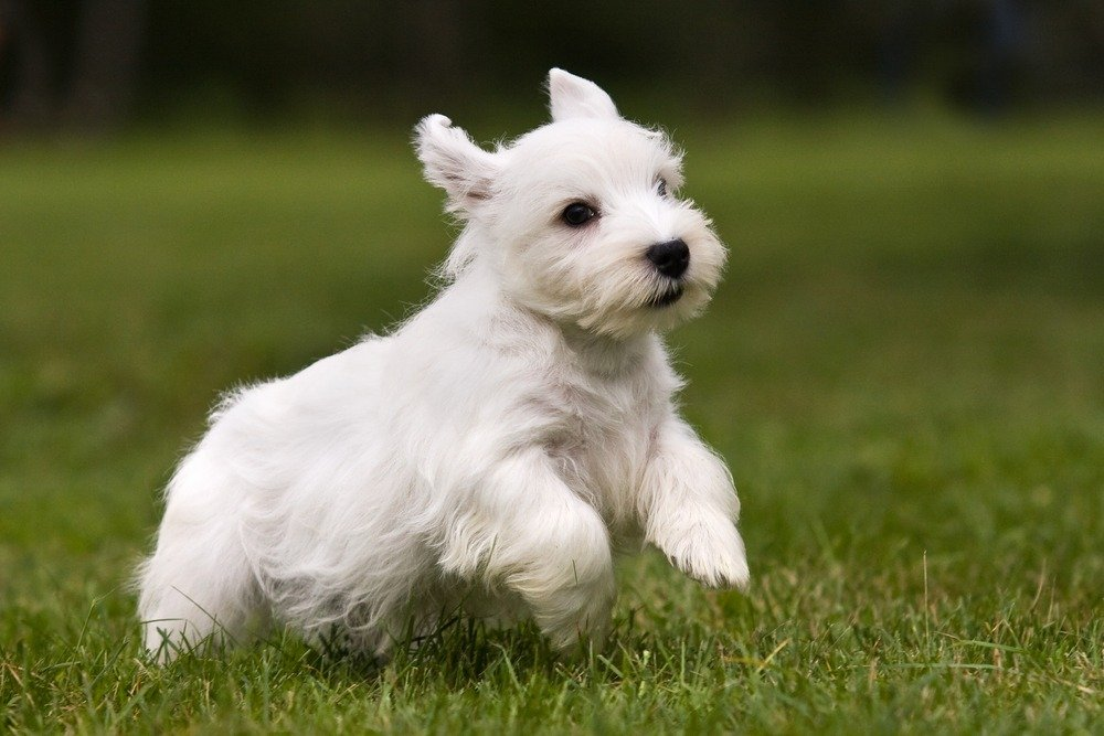 Sealyham Terrier cachorro