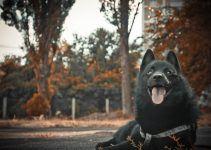 schipperke cachorro