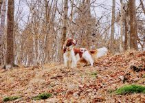 Springer Spaniel galês cachorro