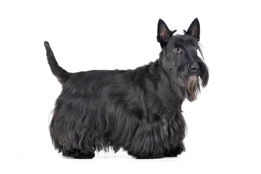 Terrier escocês cão