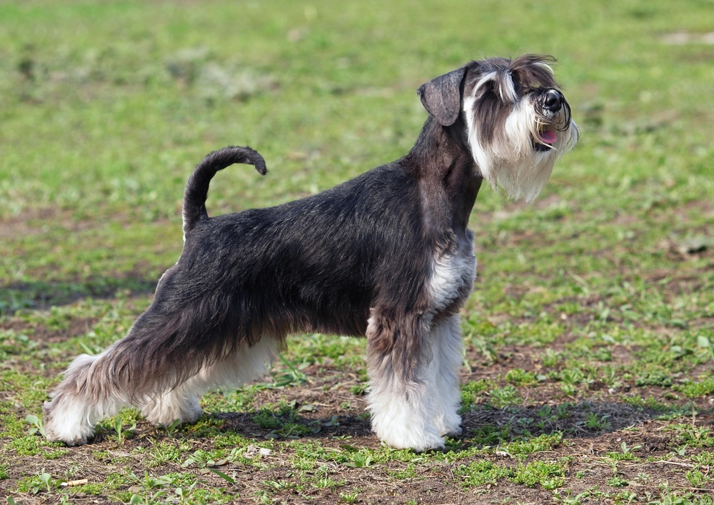 Schnauzer Standard cachorro