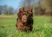 Sussex Spaniel cão