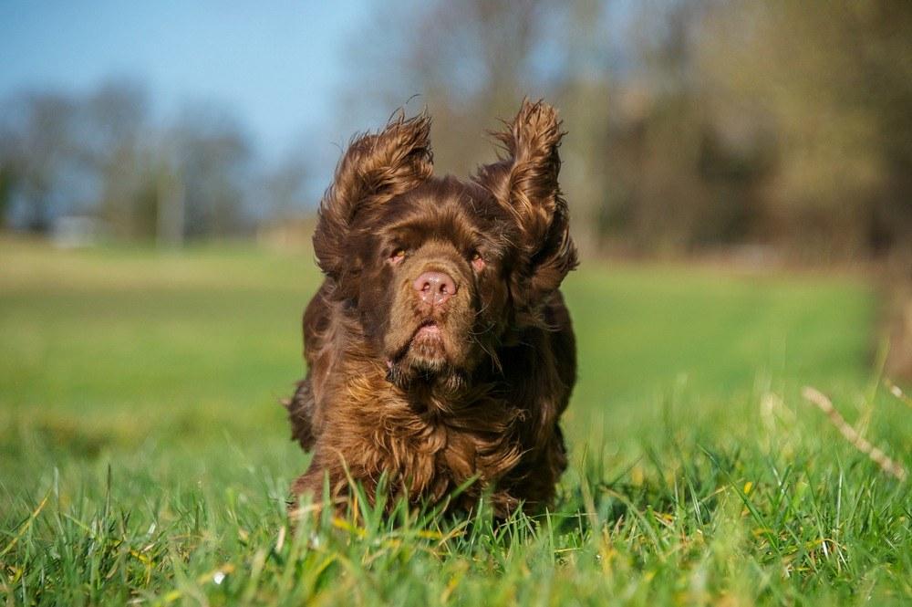 Sussex Spaniel cão