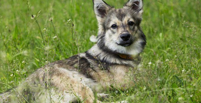 Spitz dos Visigodos cão