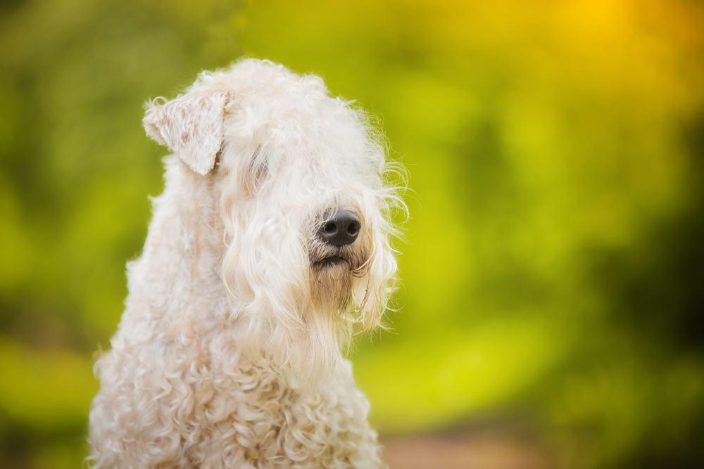 Soft Coated cachorro