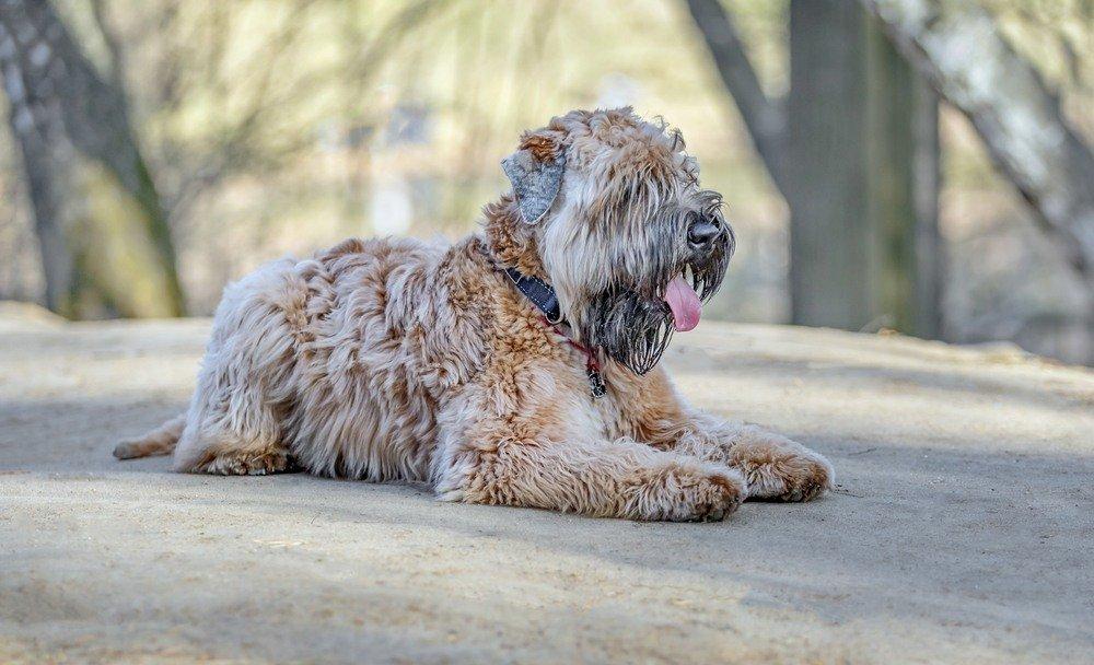 Soft Coated cão