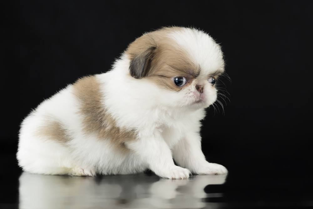 Spaniel japonês cachorro