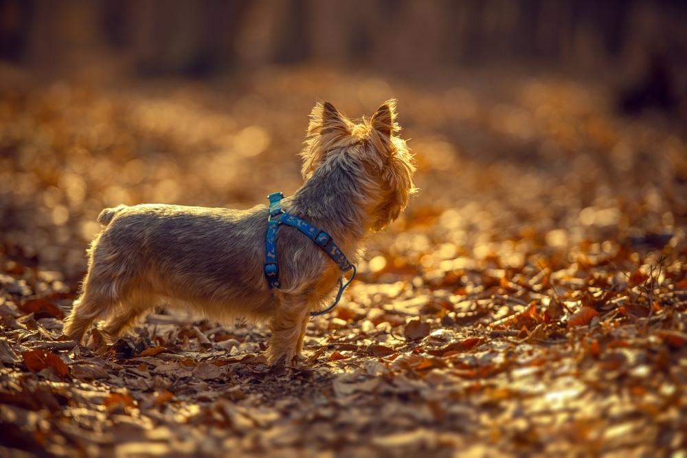 Silky terrier cachorro