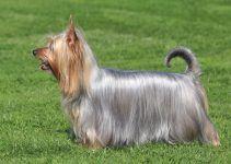 Silky terrier cão