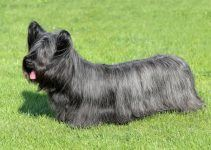 Skye terrier cão