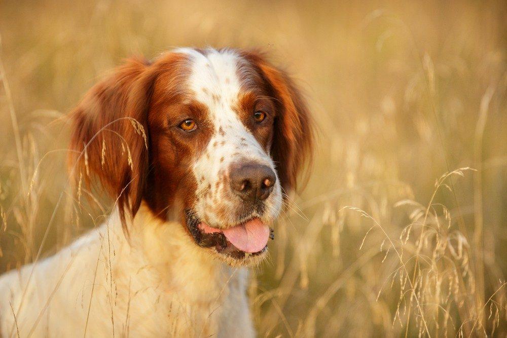 Setter irlandês ruivo e branco cão