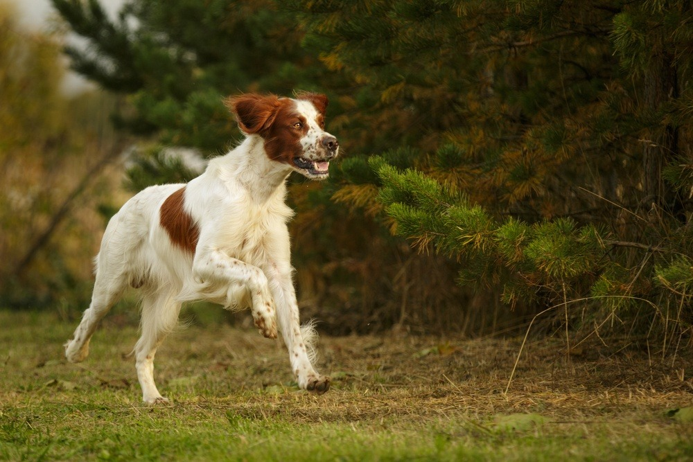 Setter irlandês ruivo e branco cachorro