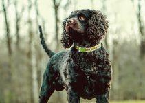 Câo d'água americano cachorro