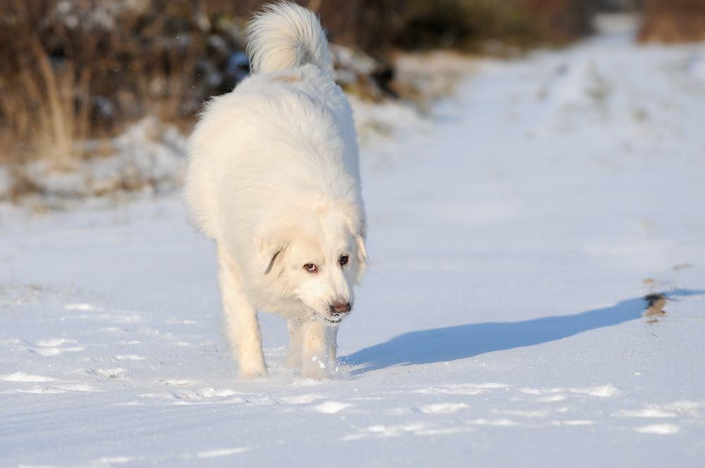 Cão de Montanha cão