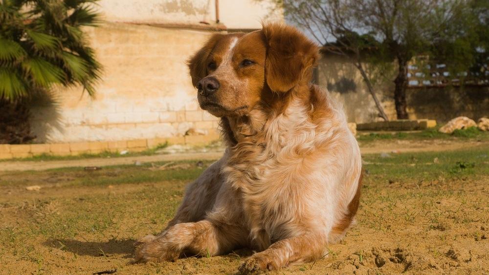 Spaniel bretão cão