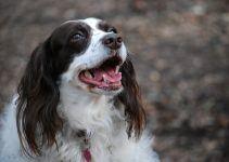 Springer spaniel cão