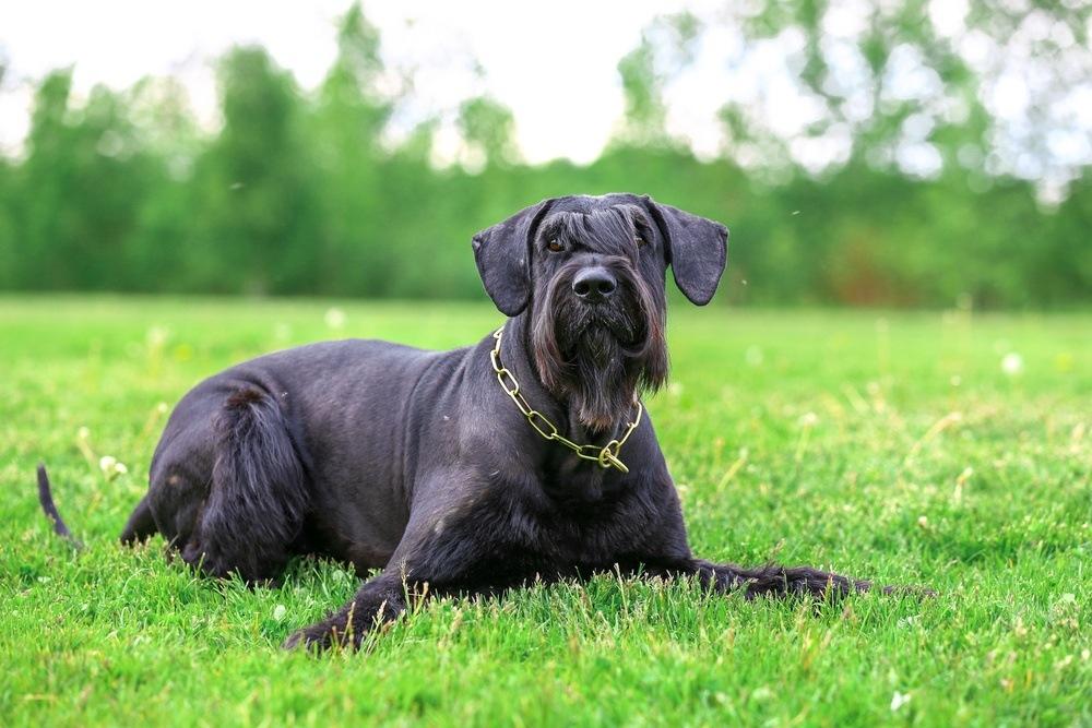 Schnauzer gigante cão
