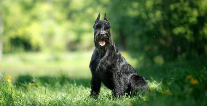 Schnauzer gigante cachorro