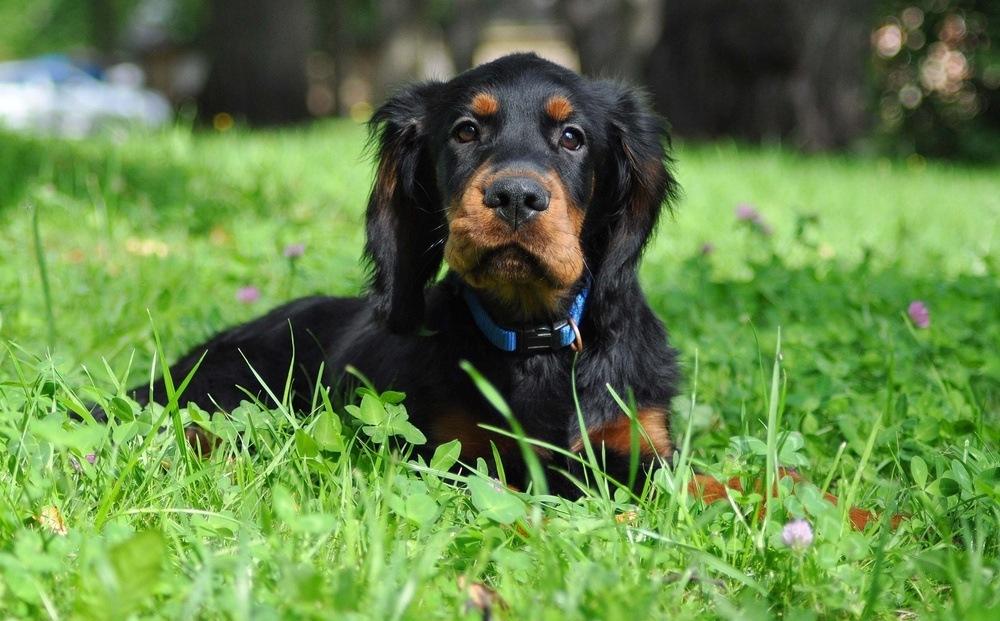 Setter gordon cão