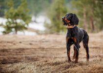 Setter gordon cachorro